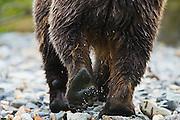 A close-up of a coastal brown bear ( Ursus arctos ) paw as he walks away,Katmai Peninsula, Alaska