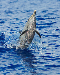 Pantropical Spotted Dolphin, Stenella attenuata, jumping out of boat wake, off Kona, Big Island, Hawaii, Pacific Ocean