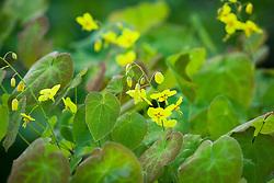 Epimedium pinnatum subsp. colchicum AGM