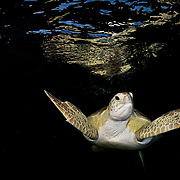 Green sea turtle (Chelonia mydas) near the surface in the late evening in The Bahamas