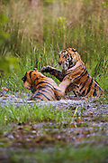 Two sub-adult Bengal tiger siblings (Panthera tigris tigris) playing in a water hole on a hot summer afternoon, Bandhavgarh,Madhya Pradesh,India