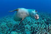 Hawaiian monk seal ( Neomonachus schauinslandi ) yearling female ( critically endangered species ) swims over coral reef at Mahukona, Kohala, Hawaii Island ( the Big Island ) Hawaiian Islands ( Central Pacific Ocean )
