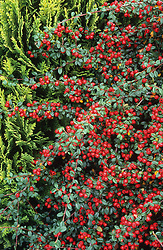 The berries of Cotoneaster 'Coral Beauty'