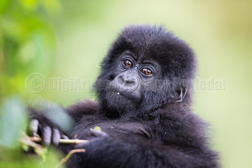 This picture was captured during gorilla trekking in Rwanda. This baby were eating on a plant, and suddenly we had great eye contact   Dette bildet tok jeg under en gorillasafari i Rwanda. Denne babyen satt og spiste på en plante, og plutselig hadde vi skikkelig blikkontakt.