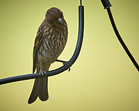 Female House Finch. Image taken with a Nikon D5 camera and 600 mm f/4 VR lens
