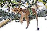 Lioness (Panthera leo) resting in a tree Photographed in Tanzania