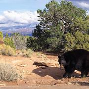 Black Bear, (Ursus americanus) In red rock country of Utah.  Captive Animal.