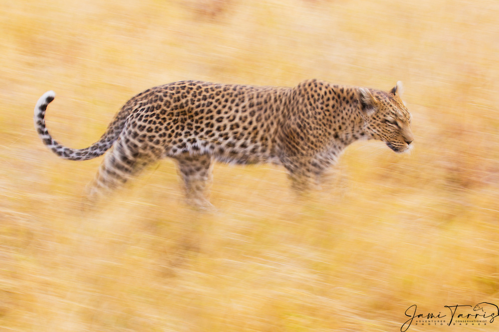 A motion-blur of a leopard (Panthera pardus) walking through its territory while hunting in the morning,Moremi Game Reserve,Botswana,Africa