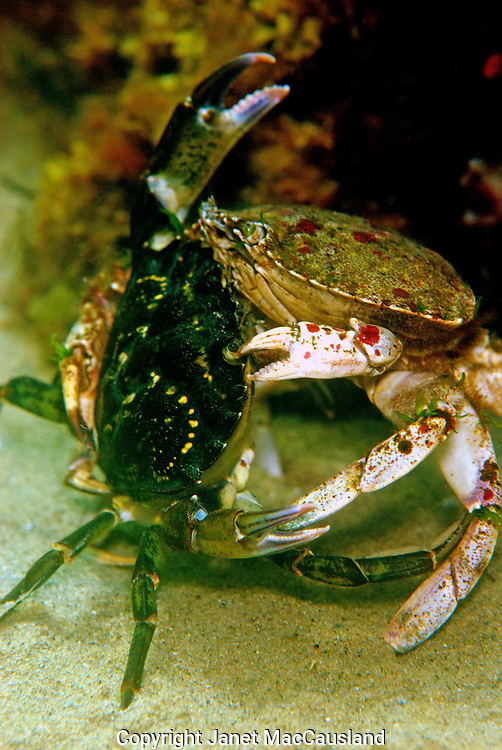 An invasive European Green Crab (Carcinus maenas), on the left, does battle with a native Atlantic Rock crab (Cancer irroratus) in Folly Cove, Gloucester, Massachusetts. The Green Crab (Carcinus maenas) has taken over a lot of the territory once belonging to Rock and Jonah crabs in the north Atlantic. They are impacting the lobster industry in Canada by eating the young lobsters and stealing the bait. They are small enough to enter, eat bait and exit the traps. Yet Green crabs are too skinny to be of much commercial use to us. These crabs are extremely cold hardy.