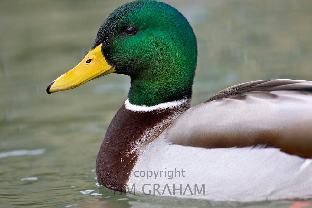 Mallard duck in River Windrush, Burford, UK. Feral birds may be at risk from Avian Flu bird flu virus