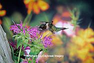 01162-05813 Ruby-throated Hummingbird (Archilochus colubris) male at Bee Balm(Monarda sp.) Shelby Co. IL