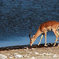 Africa, Namibia, Etosha. Black faced Impala.
