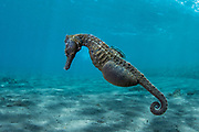 Common Seahorse (Hippocampus taeniopterus)<br /> Lesser Sunda Islands<br /> Indonesia<br /> Pregnant male