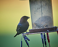 Brown-headed Cowbird. Image taken with a Nikon D5 camera and 600 mm f/4 VR telephoto lens (ISO 1600, 600 mm, f/5.6, 1/1000 sec).