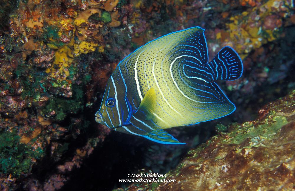 Semi-circle Angelfish, Pomacanthus semicirculatus, showing typical intermediate stage coloration.  Richelieu Rock, Thailand, Andaman Sea, Indian Ocean; underwater; fish portrait; juvenile; juvenile angelfish, color change