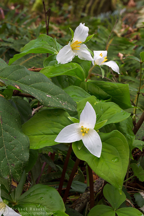 A groups of flowering Western Trillium (Trillium ovatum) plants at Campbell Valley Park in Langley, British Columbia, Canada