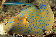 bluespotted fantail ( ribbontail ) stingray, <br /> Taeniura lymma, Mabul Island, Borneo,<br /> Malaysia  ( South China Sea )