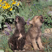 Gray Wolf, (Canis lupus) Pups howling in spring flowers. Montana. Captive Animal.