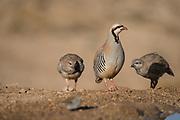 a group of Chukar Partridges or Chukars (Alectoris chukar) Photographed in Israel, Arava desert in June
