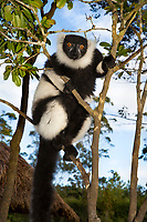Intense lemur gaze, Magical Madagascar Photo Tour. Wildlife and nature wall art photography prints.