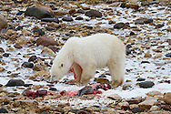 01874-12903 Polar bear (Ursus maritimus) eating Ringed Seal (Phoca hispida)  in winter, Churchill Wildlife Management Area, Churchill, MB Canada