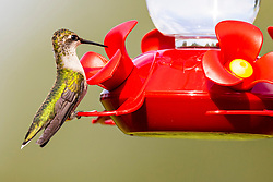 Ruby-throated Humming bird (Archilochus colubris)