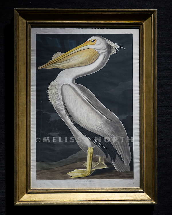 After John James Audubon, American white pelican (Pl. CCCCXI), est £26,000 - 39,000, at a preview of the auction highlights from the Estate of Lauren Bacall, at Bonhams, London, UK on 13th February 2015. The preview of 50 selected lots features works by Henry Moore, David Hockney, Robert Graham, Noel Coward and Jim Dine - and is due to be auctioned at Bonhams New York on 31 March and 1 April 2015.