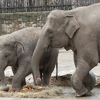 Upcoming 3rd birthday of the baby elephant Arun (L) is celebrated with special birthday cake on the birthday of his mother Angele (R) who turns 19 years old today at the Zoo Budapest in Budapest, Hungary on Nov. 5, 2020. ATTILA VOLGYI
