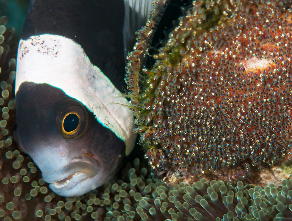 Clark's Anemonefish (Amphiprion clarkii) tending to her eggs. Kimbe Bay, Papua New Guinea