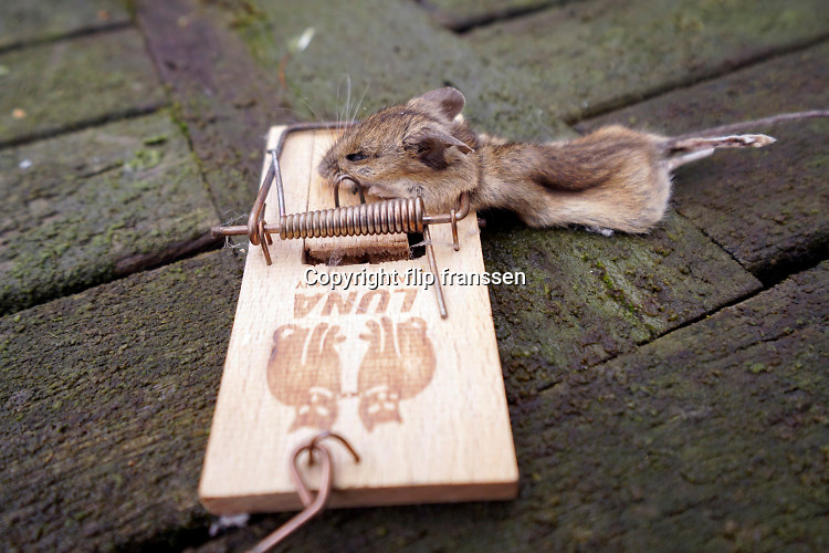 Nederland, Nijmegen, 26-12-2019Regelmatig vinden we een dode muis in de muizenval op zolder. Via een gaatje in het dak komen ze binnen. Foto: Flip Franssen
