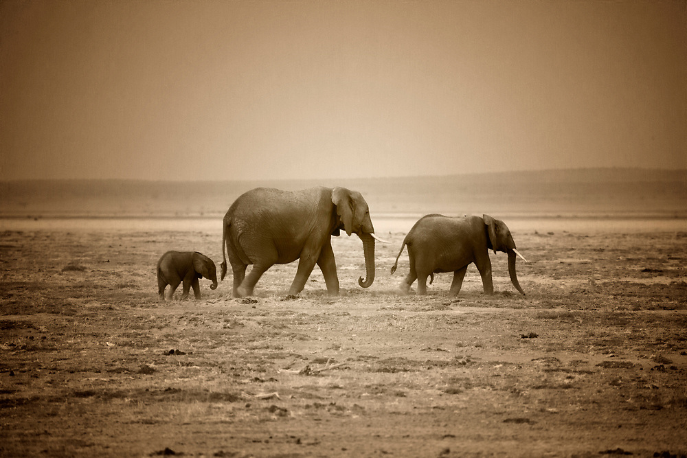 "Sepia photo of a family of elephants, the largest existing land animals and on of the ""big five"", Amboseli National Park"