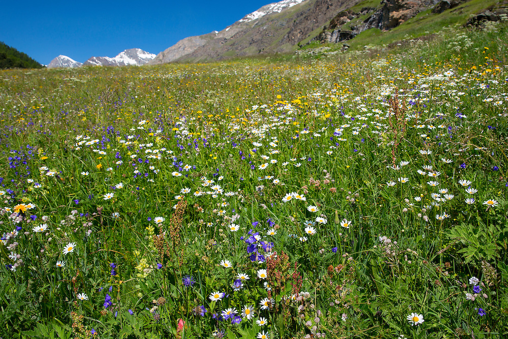Alpine wildflower meadow in the Swiss Alps below the Matterhorn near Zermatt, Switzerland