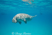 male dugong or sea cow, Dugong dugon, Critically Endangered Species, swimming just under the sea surface, with snorkelers in background, Calauit Island, off Busuanga, Calamian Islands, Palawan, Philippines  ( Mindoro Strait, South China Sea, Western Pacific Ocean )