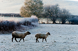 © Licensed to London News Pictures. 07/02/2020, Cwmbach Lechrhyd, Powys, Wales, UK. Sheep stand in a frosty field at Cwmbach Lechrhyd in Powys after temperatures dropped to around minus 5 C last night.. Photo credit: Graham M. Lawrence/LNP