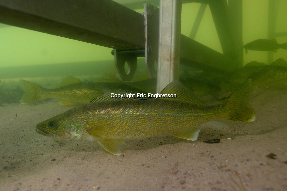 Walleye (under boat dock)<br /> <br /> Engbretson Underwater Photography