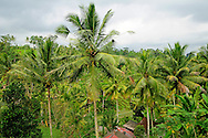 Indonesia, Bali. Rice fields and coconut palms.