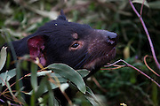 Tango, a captive Tasmanian Devil in an enclosure at Taroona, outside Hobart, part of a government insurance programme against the extinction of the species in the wild by Devil Facial Tumour Disease, a contagious cancer that causes the animals to starve to death... The cancer, one of just a few known to be contagious, is only becoming understood by scientists, but having spread rapidly through the population, with the devil listed as endangered by the IUCN. In December 2009, it was announced that the disease may be related a peripheral nerve cell, called the Schwann cell, which has led some hopes for preserving the devil, at least in terms of quarantine insurance populations.