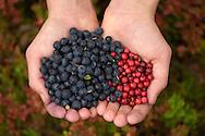Berry picking girl, Blueberries, Vaccinium myrtilius, Lingonberry, Vaccinium vitis-idaea, Pellokielas old-growth forest reserve, Lapland, Sweden