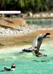 © Licensed to London News Pictures. 29/03/2012. London, UK. A penguin dives off the new board. Penguins discover a new diving board in their enclosure at London Zoo today 29 March 2012. The board has been granted the 'Inspire Mark' by the London 2012 Inspire programme which recognises ideas inspired by the Olympic Games. Photo credit : Stephen Simpson/LNP