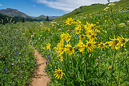 Wildflowers on the West Maroon Trail in the Maroon Bells-Snowmass Wilderness near Crested Butte, Colorado.