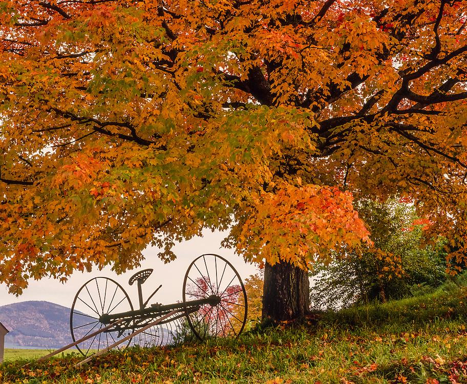 Hayrake under sugar maple with fall color, Peacham, VT