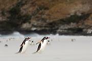 Der scheue Eselspinguin (Pygoscelis papua) ist an dem dreieckigen weißen Fleck über den Augen leicht zu erkennen. | The shy Gentoo Penguin (Pygoscelis papua) can easily be recognized by the triangle-shaped white patch above the eye.