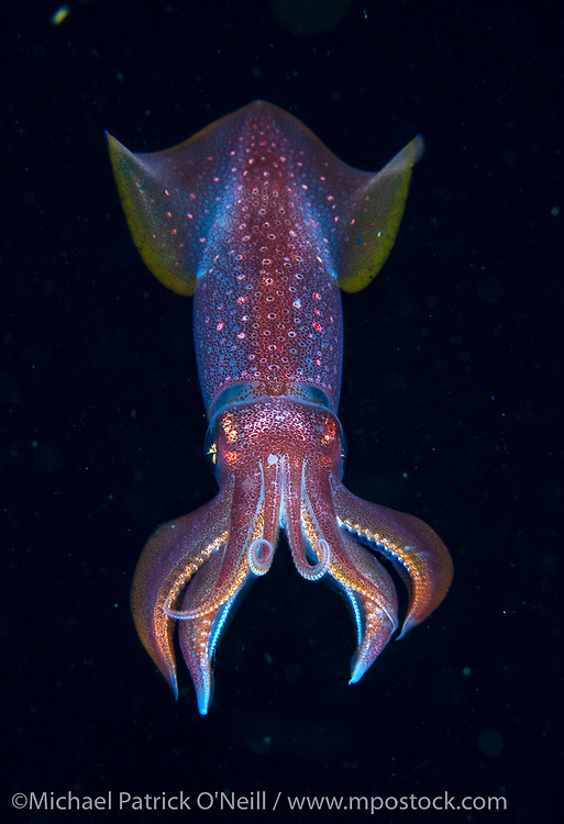An unidentified squid drifts in the Gulf Stream current far offshore the Palm Beach, Florida coastline at nighttime.