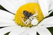 crab spider<br /> Misumena vatia