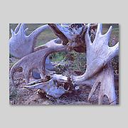 Alaska. Becharof National Wildlife refuge. Moose. (Alces alces) antlers sitting on the tundra.