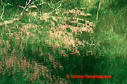 This impressionistic reflection photo of red buds in the water of the Patapsco River in Baltimore County, Maryland, USA.  Different compositions of the same subject are available as well as a photo of the Red Bud tree itself.