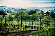 Spring sunrise at Natalie Estate Vineyard in Newberg, Oregon with hot air balloon in background.