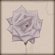 Digitally enhanced vintage style sketch of a perfect Salmon coloured rose head
