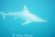 blacktip shark, Carcharhinus limbatus, in white color phase is almost invisible inside whiting (milky water releasing lime); blacktips hide in the whitings to hunt fish, Great Bahama Bank, Bahamas ( Western Atlantic Ocean )