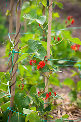 Runner beans in flower growing up cane wigwam support. Phaseolus coccineus